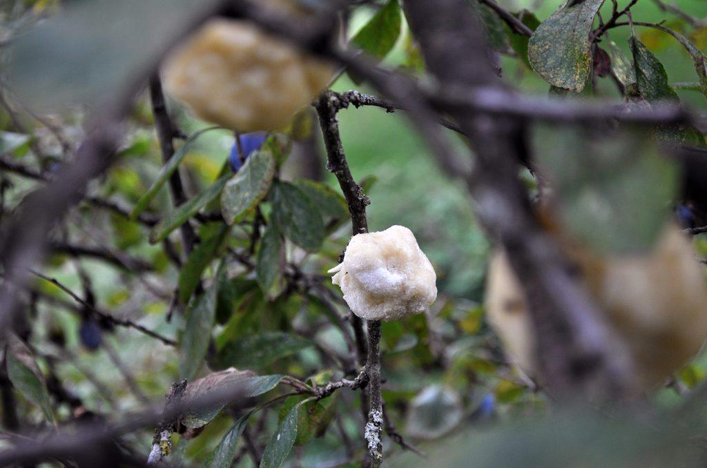 Die saftigen Knödel am Baum